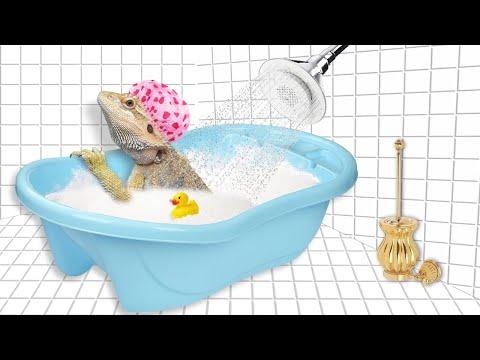 Купание ящериц. Как правильно купать бородатую агаму. Лайфхак с ромашкой.
