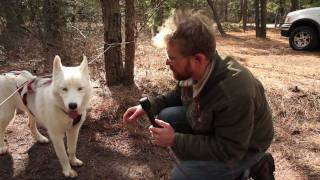 Public Radio Reporter Interviews Boilo The Siberian Husky