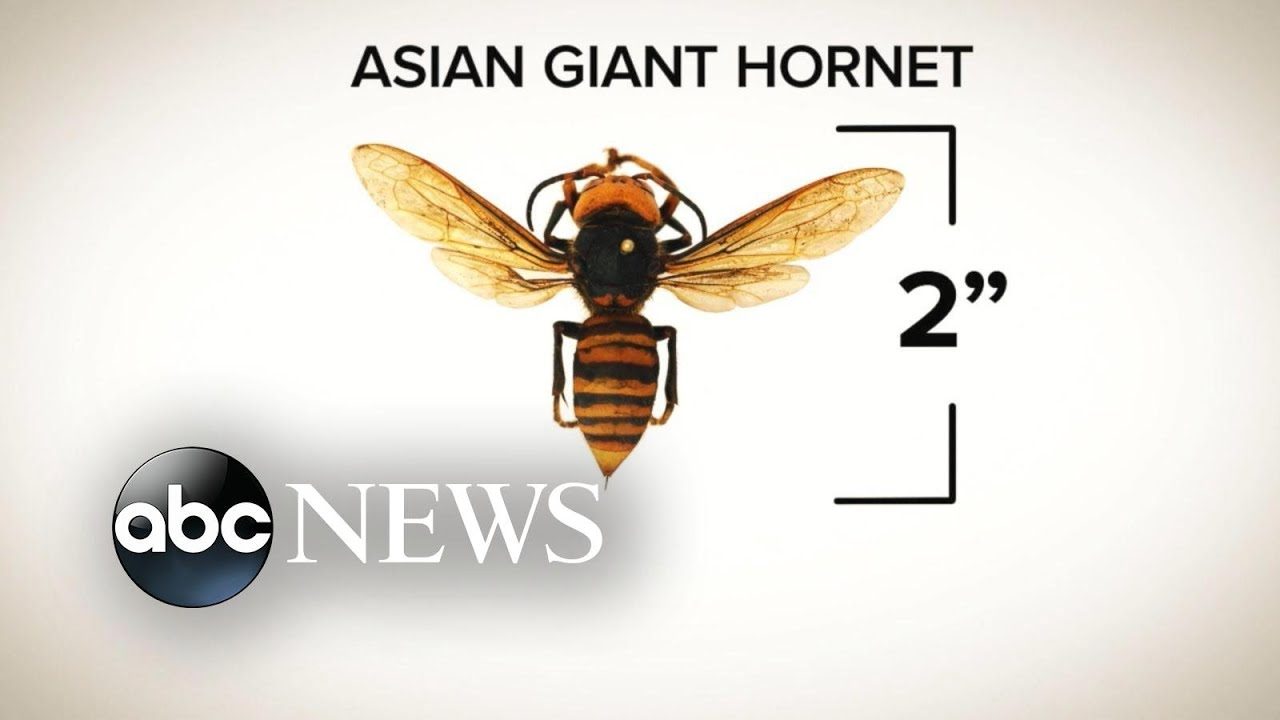 'Murder Hornets' spotted in US