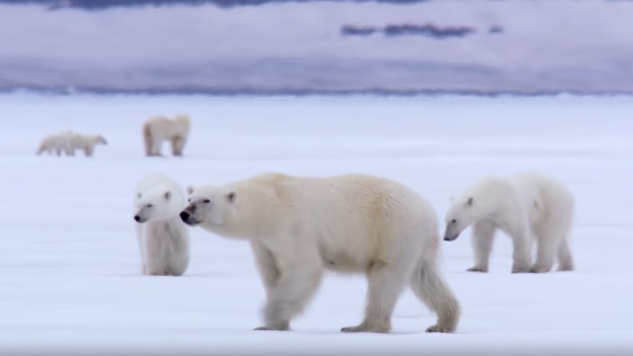 Film Crew Surrounded By 13 Wild Polar Bears Bbc Earth Youtube