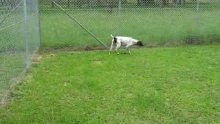 German Shorthaired Pointer Winnie In Quarantine 26/02/10