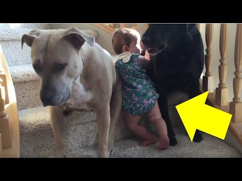 Girl On A Mission To Climb The Stairs Doesn't Realize Her Dogs Have Other Plans