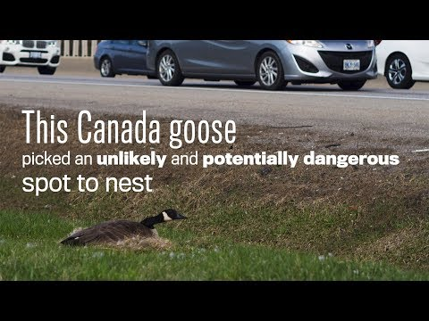 Canada Goose Picks Unlikely Nesting Spot