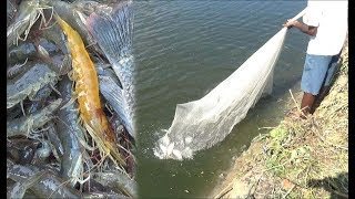 EVER SEEN YELLOW COLOR PRAWN CAUGHT IN THE NET