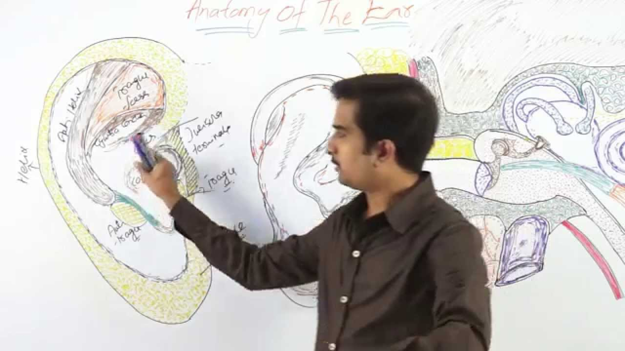 Anatomy Of External Ear Drganu Prakash Youtube