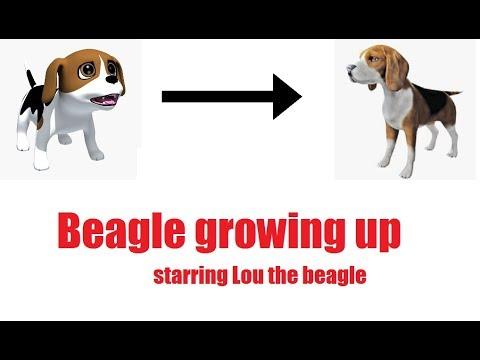 Beagle growing up