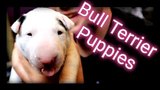 Bull terrier puppy update  how big are they now?