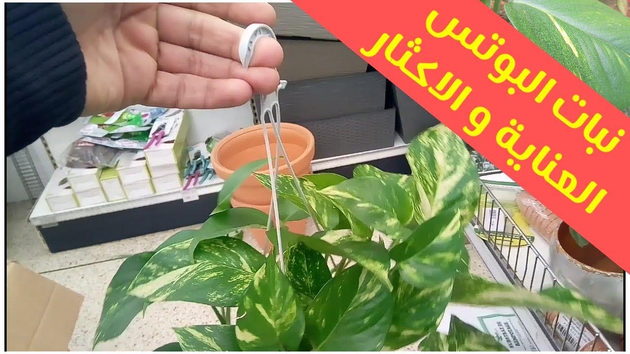 نبات البوتس الزراعة و العناية و اكثار نباتات الظل البوتس Youtube