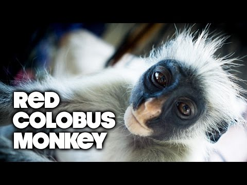 Fast Facts: Zanzibar Red Colobus!