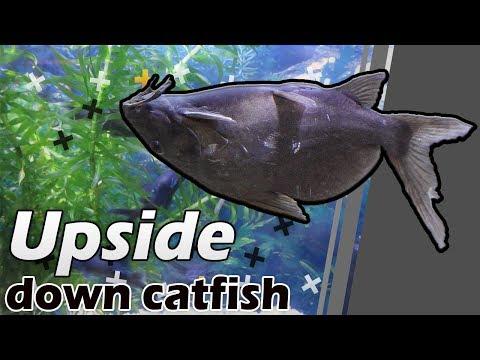 Upside Down Catfish Synodontis Nigriventris