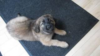 Leonberger Puppy Juno, 8 Weeks,  Waiting For Breakfast