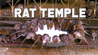 Karni Mata Rat Temple in Bikaner, India | The Planet D