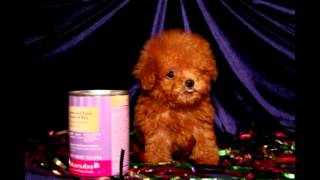 Miniature Poodle Puppy And Puppies Of All Miniature Puppy Breeds