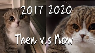Watch this adorable scottish fold cat grow up! (20172020) | Tygger The Scottish Fold |