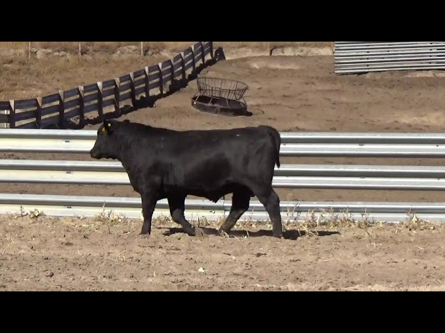 Connealy Angus Lot 178