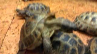 Секс черепахи 2
