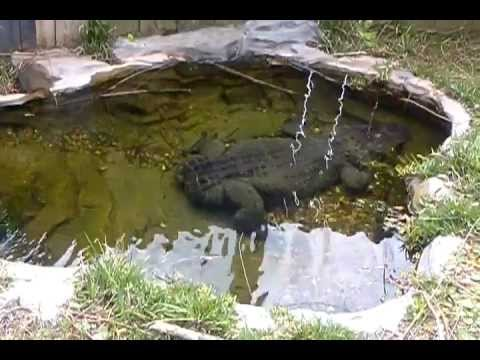 Tailless Croc, Two Headed Turtle and GIANT Tarantula - YouTube