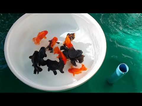 Goldfish Farm