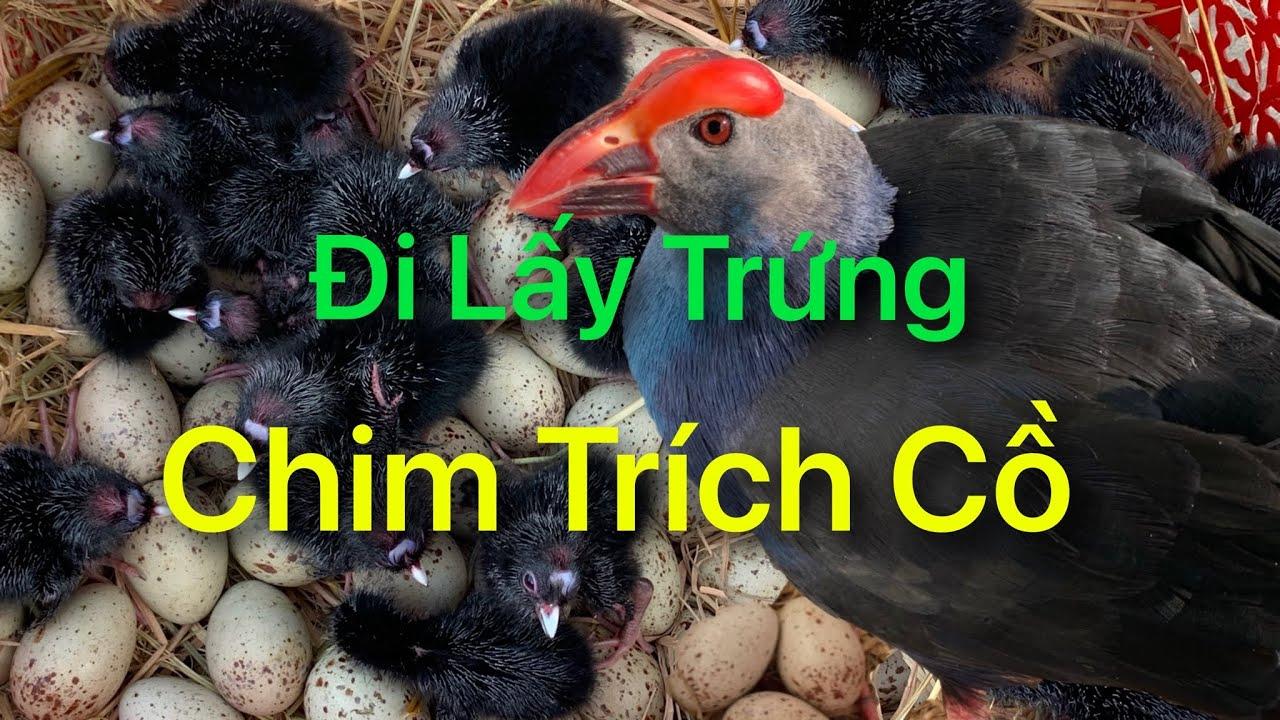 Đi Lấy Trứng Chim Trích Cồ@Góc Chăn Nuôi