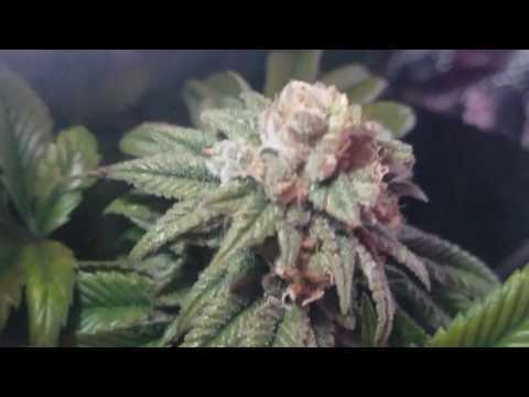 Day 50 strawberry cookie delight cannabis & Humboldt secret full line up grow...
