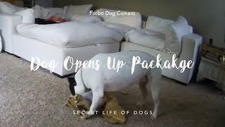 Pit Bull Dog Opens Up Package | Furbo Dog Camera