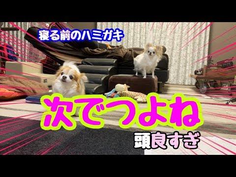💖 【犬】歯を磨く順番を理解しているチワワ【puppy chihuahua】【かわいい犬】【cute dog】【Senior dog】【犬の歯磨き】