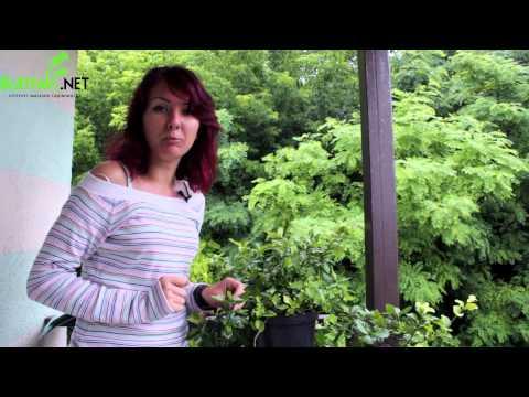 Бересклет - Декоративные деревья и кустарники