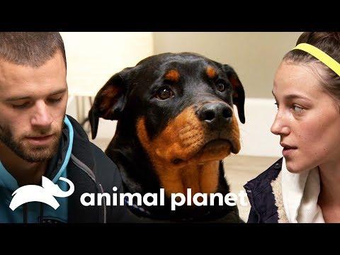 ¡Este cachorro rottweiler tiene el hombro fracturado! | Dr. Jeff, Veterinario | Animal Planet