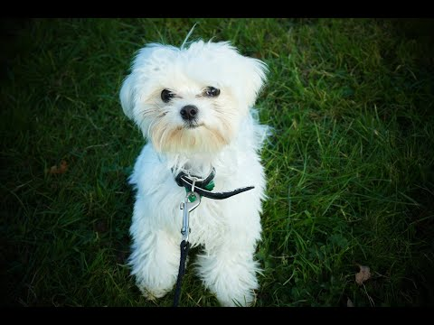 Ralphy the 6 Month Old Maltese Puppy - 4 Weeks Residential Dog Training