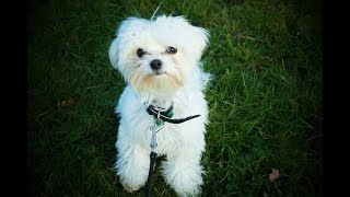 Ralphy the 6 Month Old Maltese Puppy  4 Weeks Residential Dog Training