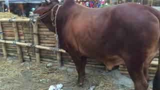 Deshal at Uttara 14-15 Cow Haat In Bangladesh-2016.