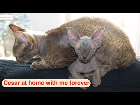 Devon Rex cat - Vol. 2 - Cesar at home