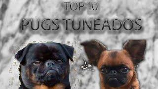 Top 10 Pugs Tuneados. EL ULTIMO TE SORPRENDERA....