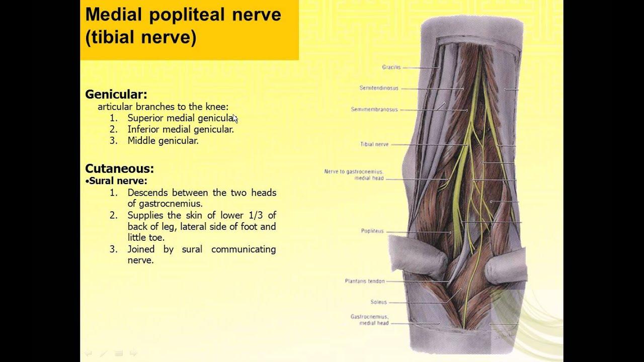 Lower Leg Nerve Diagram Seat Ibiza 6j Wiring Magdy Said Anatomy Series Limb The Tibial And