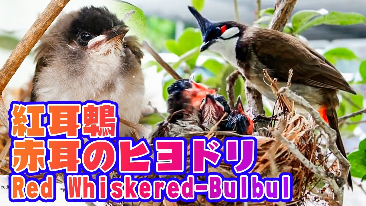 紅耳鵯(Red-whiskered Bulbul)成長及餵哺過程 - YouTube