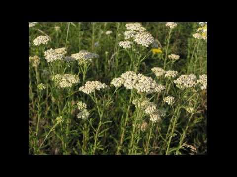 как заварить тысячелистник, трава тысячелистник лечебные свойства
