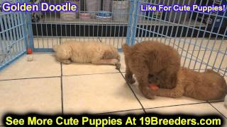 Golden Doodle, Puppies, For, Sale, In, New York, City, Ny, Albany, State, Up