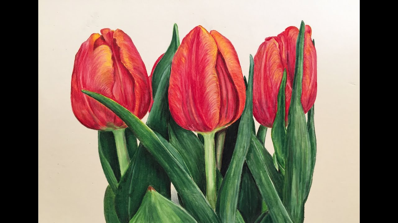 prismacolor colored pencil tulip speed drawing youtube