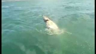 Great White Shark Attacks my Wife