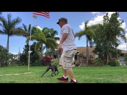 "2 Year Old Weimaraner ""Pepper"" | Treasure Coast Dog Training | Port Saint Lucie Dog Training"