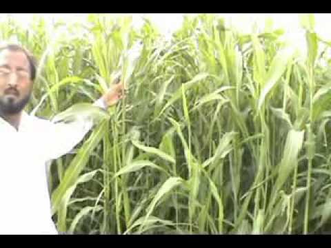 Jawar or Charee ( Sorghum vulgare )Kamoke Flora