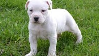 American Bulldog, Puppies, For, Sale, In, San Francisco, California, Ca, Moreno Valley, Oxnard, Font