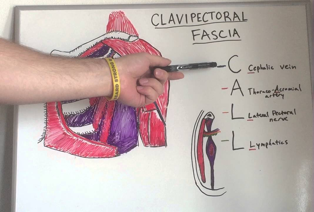 Clavipectoral Fascia Anatomy Lecture For Medical Students Usmle