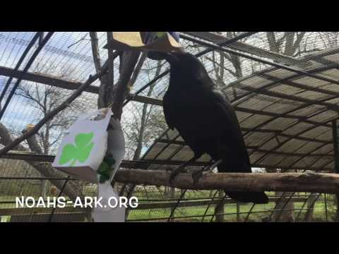 Gru, crow with forage box at Noah's Ark Animal Sanctuary