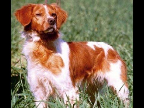 Бретон (Brittany Spaniel). Породы собак (Dog Breed)
