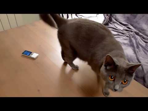 BALBINA kot kartuski 14 m-cy (chartreux cat) - 9. TELEFON 1