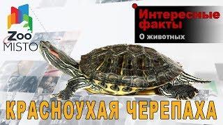 Красноухая черепаха - Интересные факты о черепахах   Вид красноухая черепаха