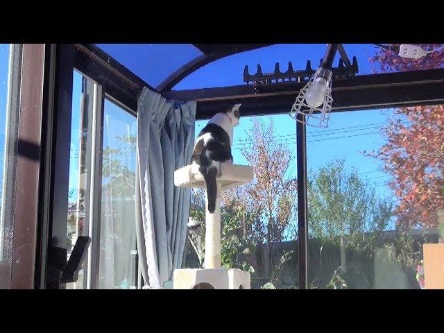 【のらの完全室内猫への挑戦㊶ 8年目でとうとうタワーのてっぺんに登ったのら 】Challenge for Nora's perfect indoor cat.㊶