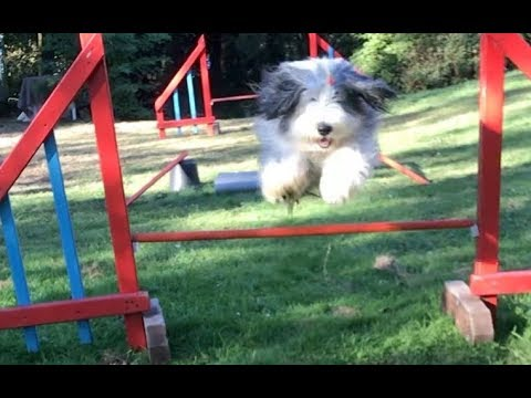 Agility in a straight line / Opium Bearded Collie Girl