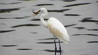 黄嘴白鹭 Egretta eulophotes